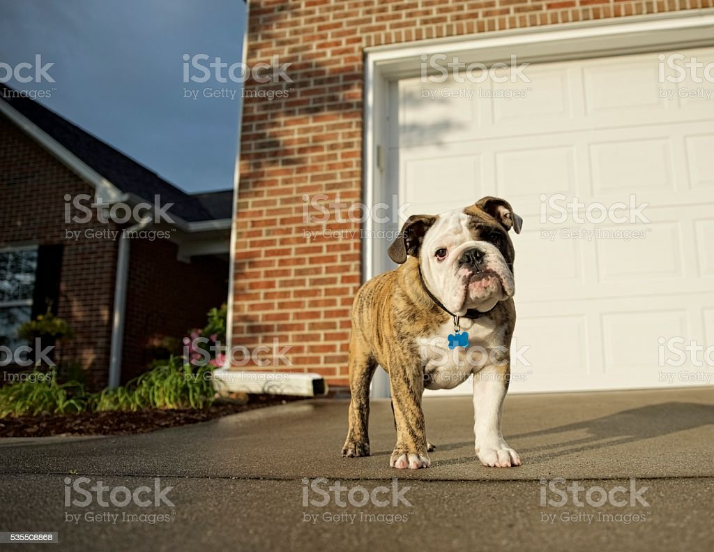 English Bulldog In Driveway stock photo