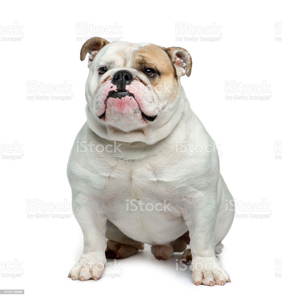 English bulldog in front of white background stock photo