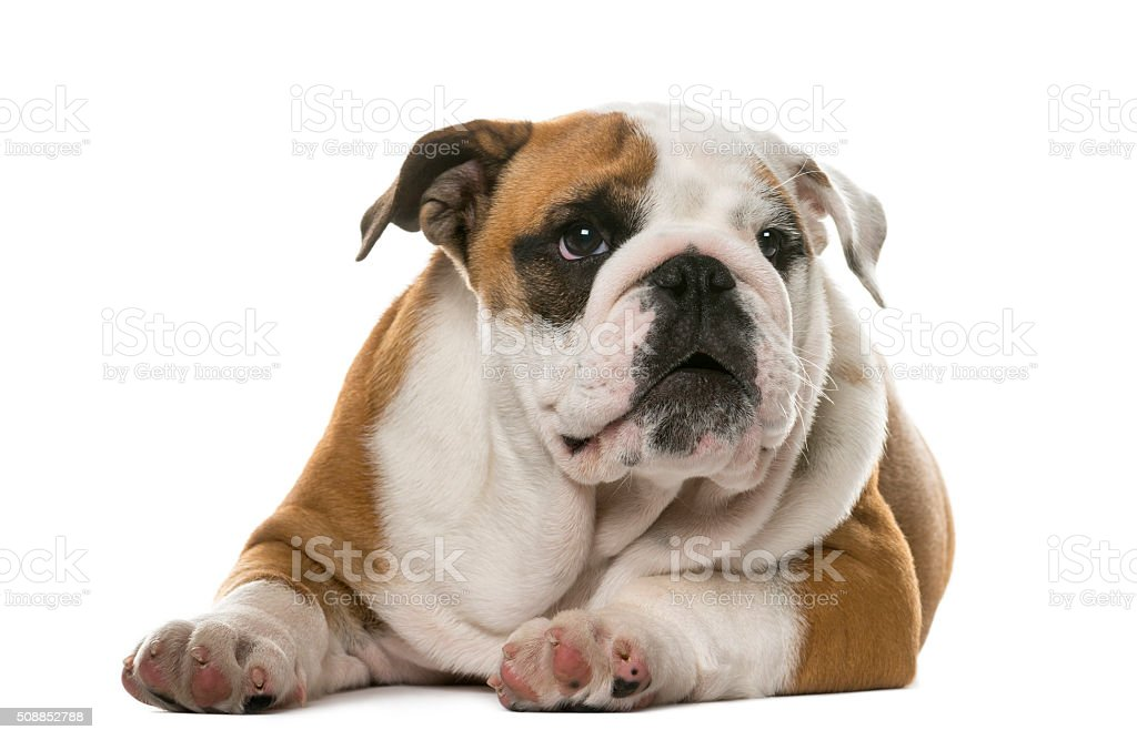 English Bulldog lying in front of a white background stock photo