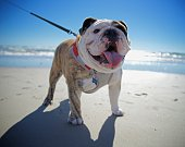 English Bulldog On the Beach