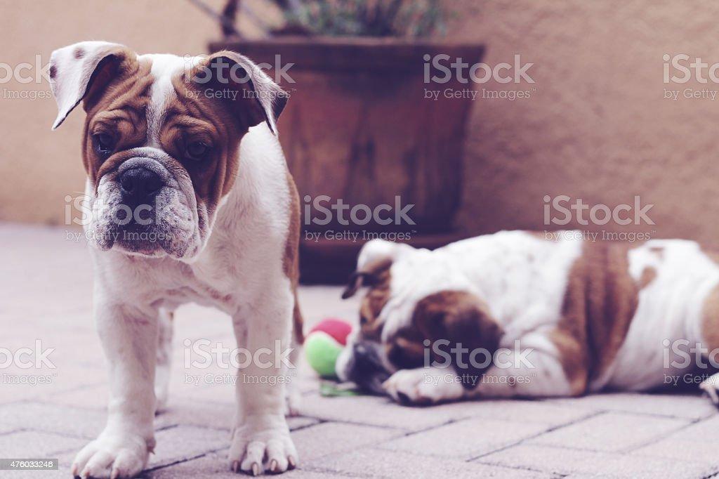 english bulldog puppies outside pavers pastel stock photo
