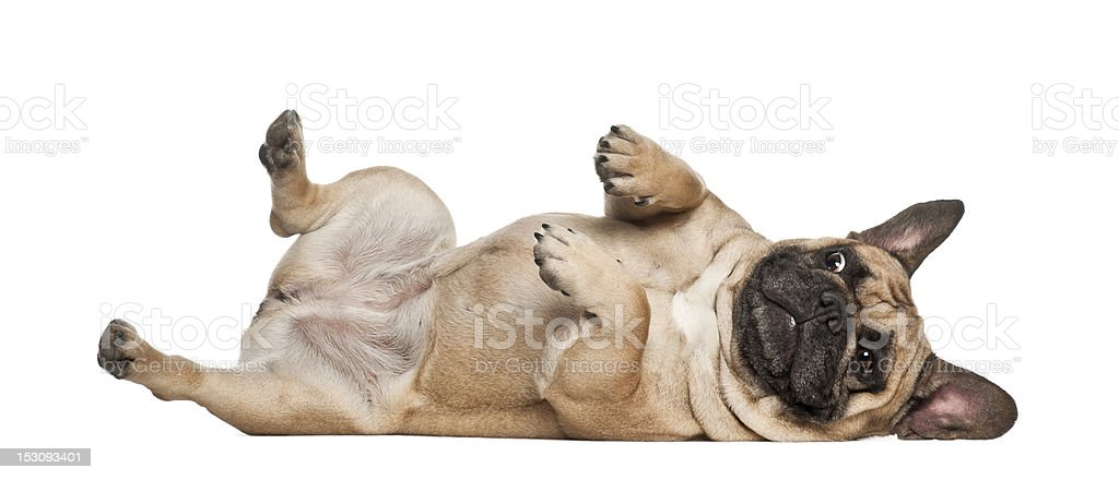 English Bulldog puppy, 2 and a half months old, lying stock photo