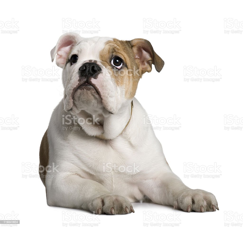 English Bulldog puppy, 3 months old, lying and looking up. royalty-free stock photo