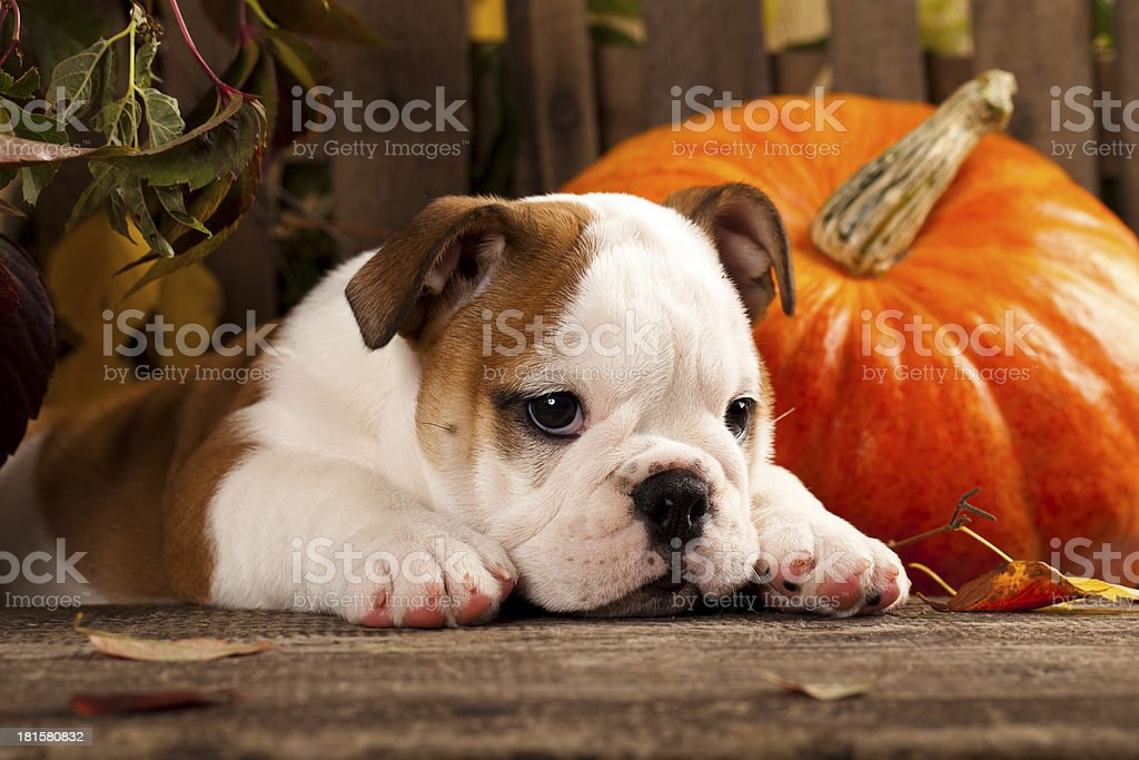 English bulldog puppy and a pumpkin stock photo