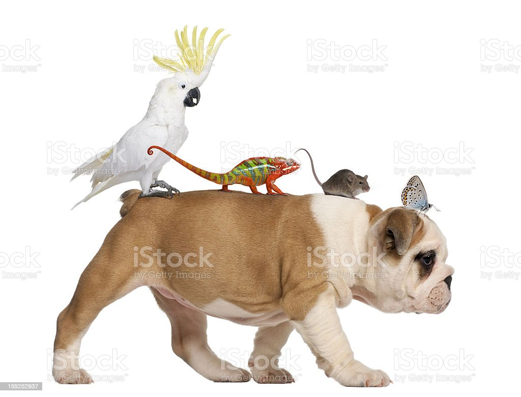 English Bulldog puppy, carrying toucan, chameleon, rat and butterfly walking stock photo