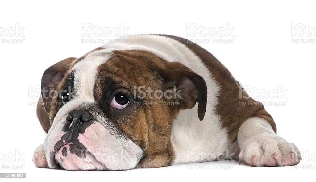 English Bulldog puppy, four months old, lying, white background. stock photo