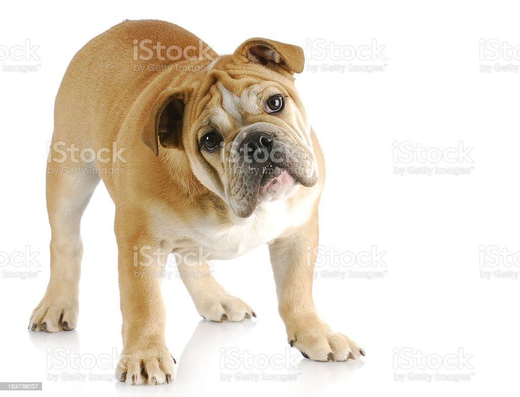 english bulldog puppy stock photo