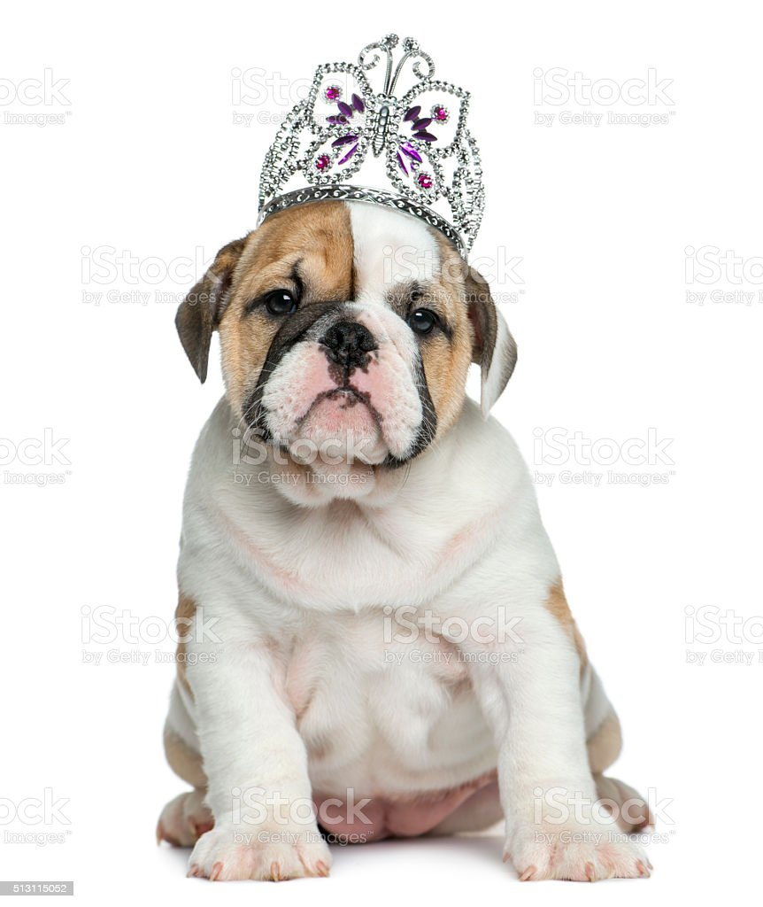 English bulldog puppy wearing a diadem stock photo