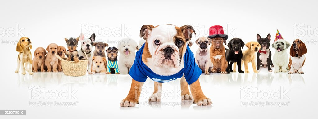 english bulldog standing in front of  dogs pack stock photo