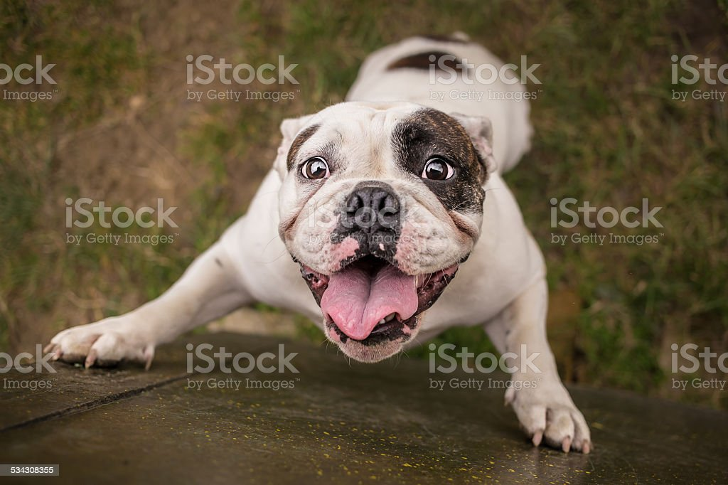English bulldog trying to reach cookie stock photo