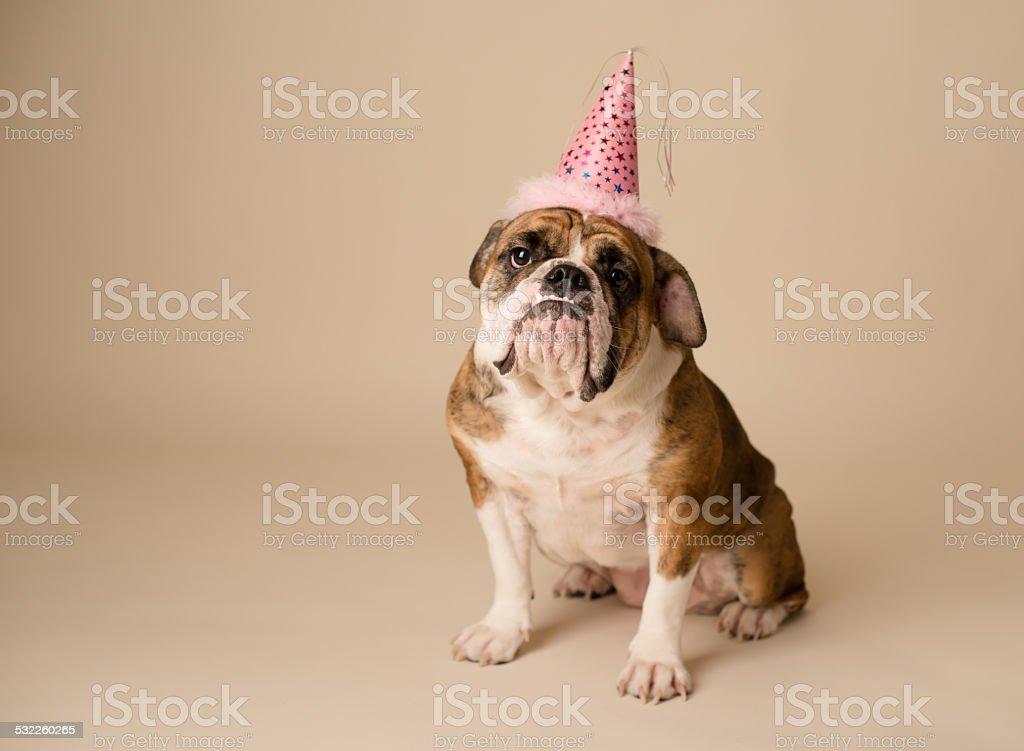 English Bulldog With Birthday Hat stock photo