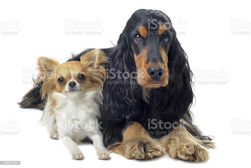 english cocker and chihuahua royalty-free stock photo