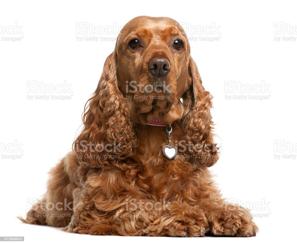 English Cocker Spaniel, 5 years old, lying stock photo