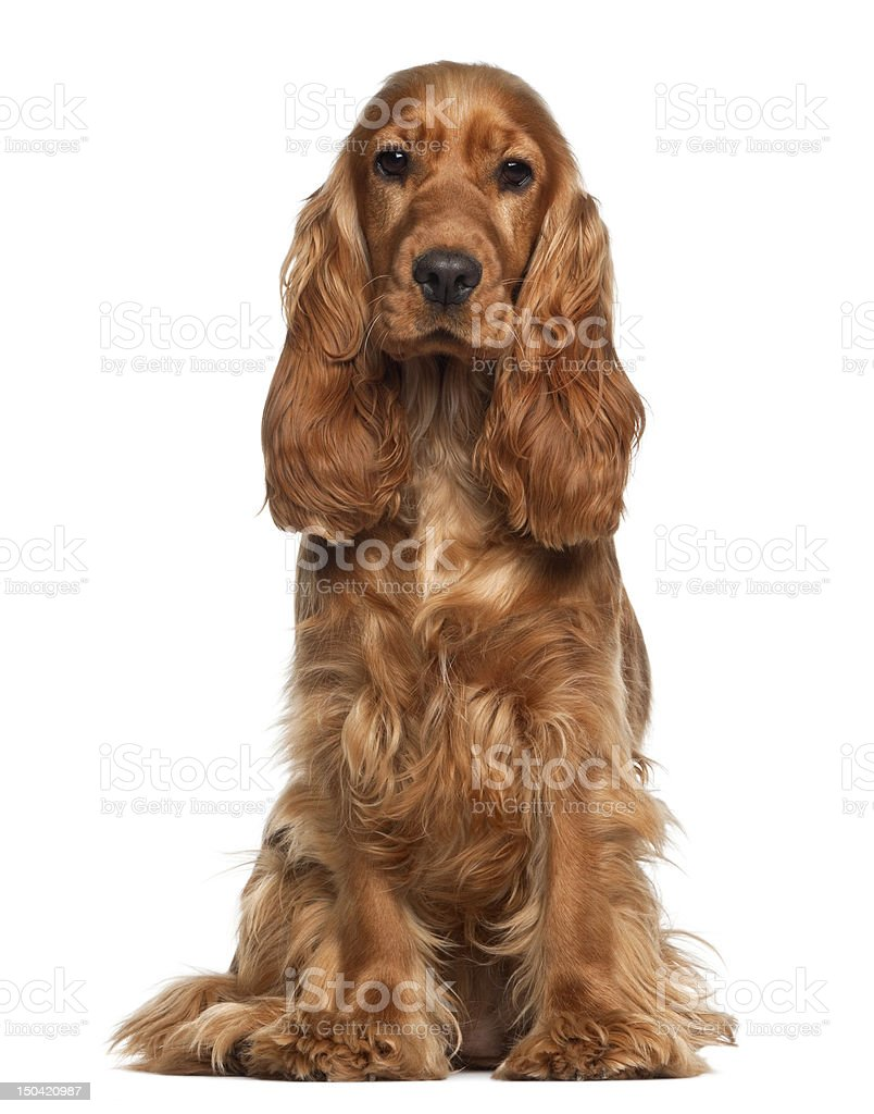 English cocker spaniel, 9 months old, sitting against white background stock photo