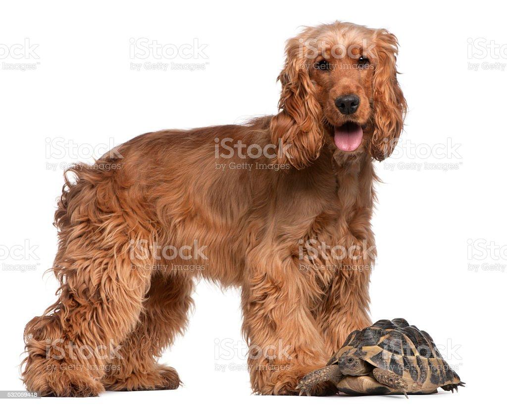English Cocker Spaniel and a Hermann's tortoise, Testudo hermanni, stock photo