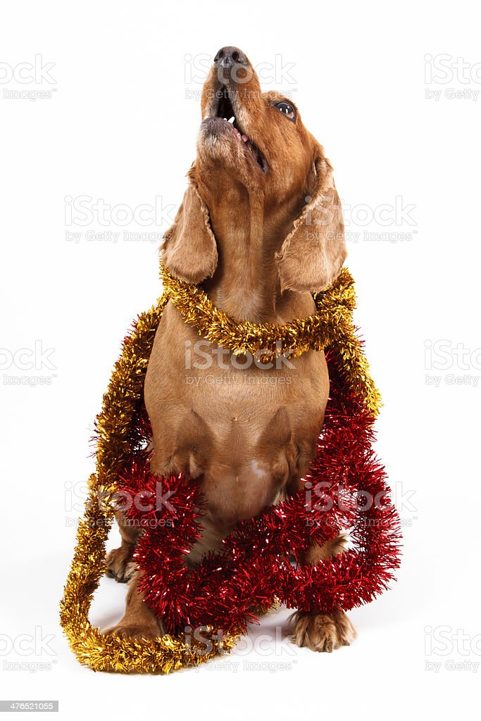English Cocker Spaniel Dog and Christmas Ornament royalty-free stock photo