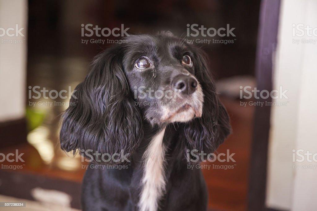 English Cocker Spaniel Dog stock photo