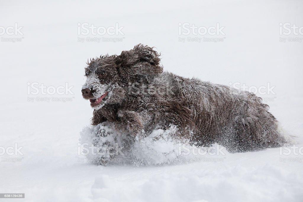 english cocker spaniel dog playing in fresh snow stock photo