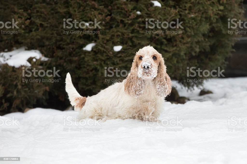 english cocker spaniel dog playing in fresh snow stock photo