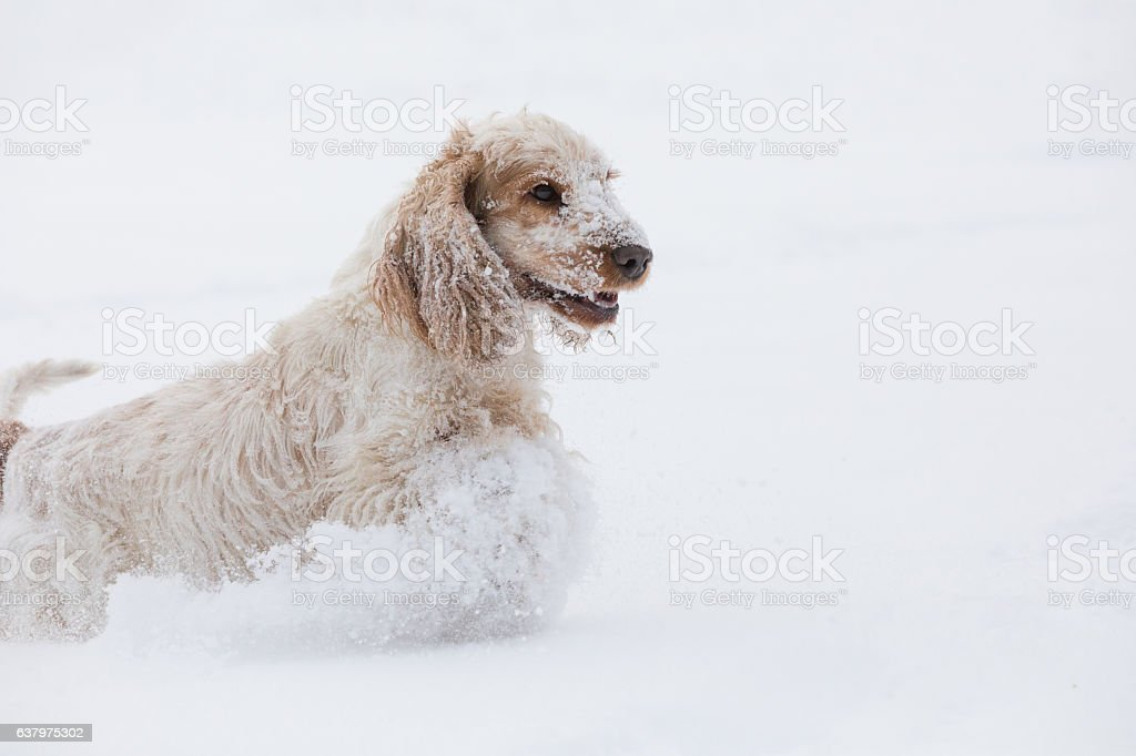 english cocker spaniel dog playing in snow winter stock photo