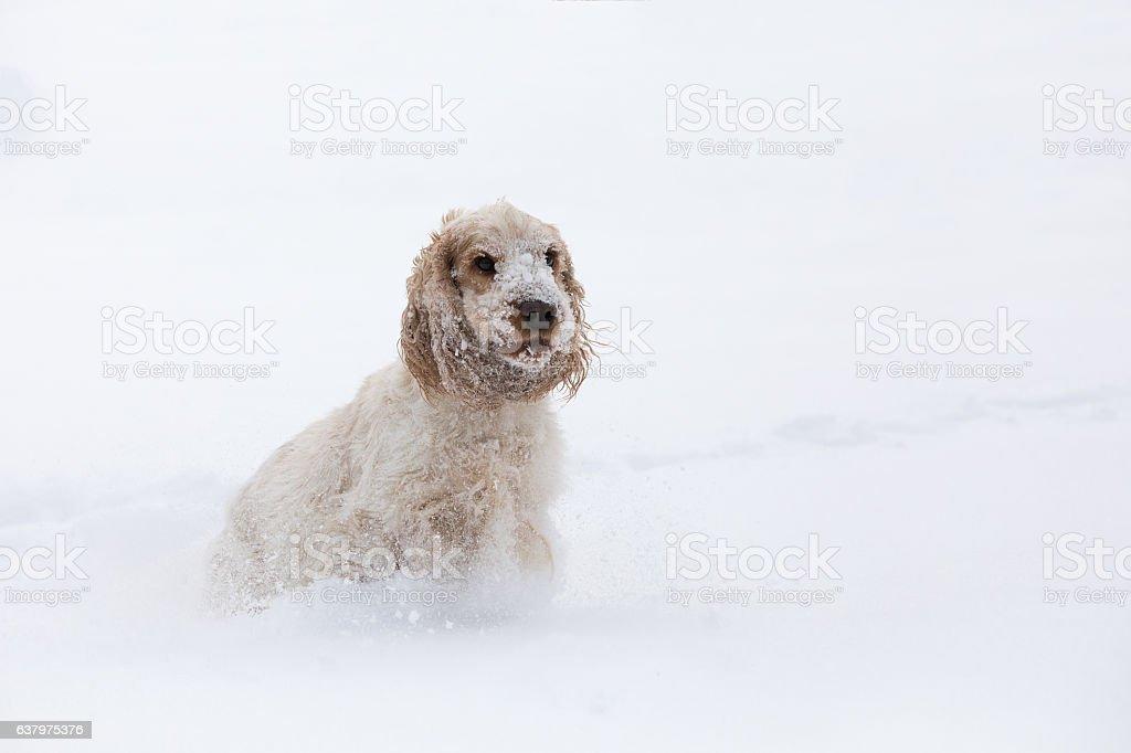 english cocker spaniel dog playing in snow winter stock photo