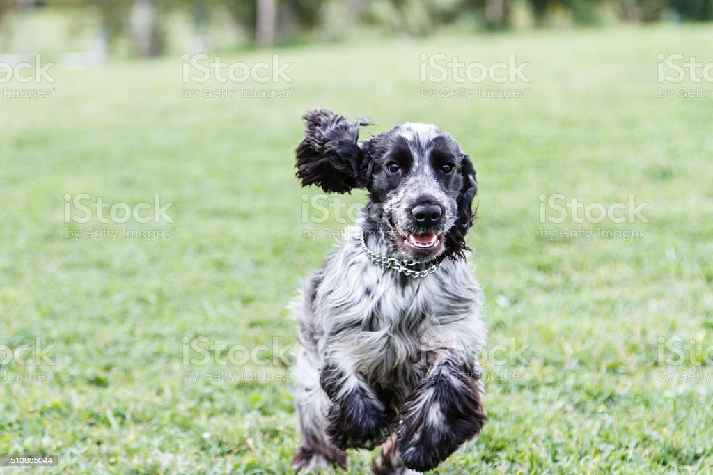English cocker Spaniel dog running free at the park stock photo