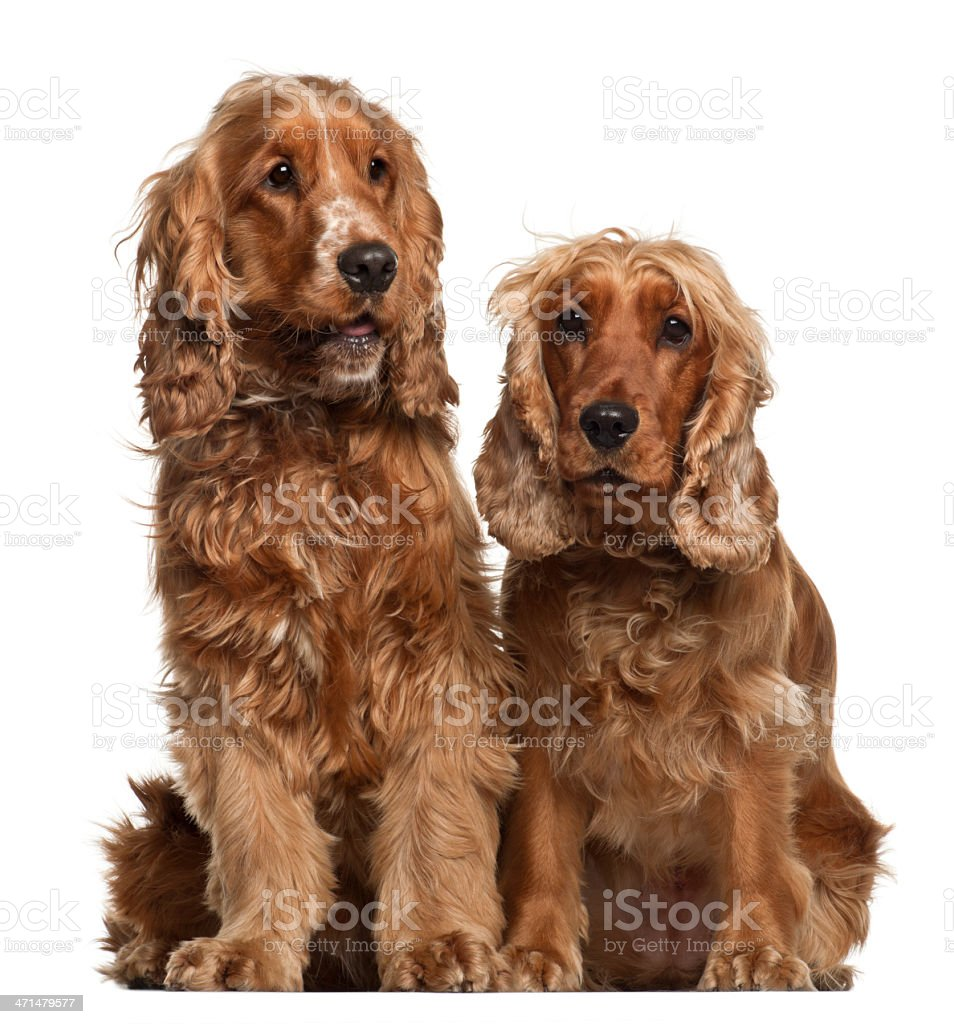 English Cocker Spaniels, 16 months old, sitting against white background stock photo