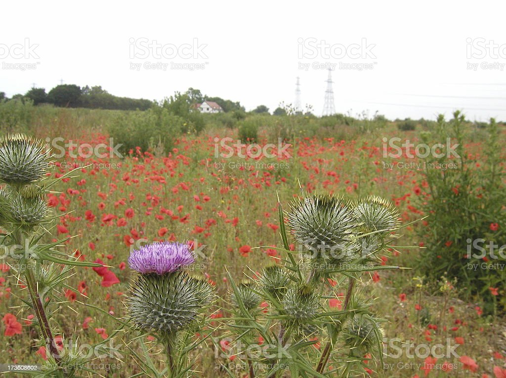 English countryside with poppies and thistles royalty-free stock photo