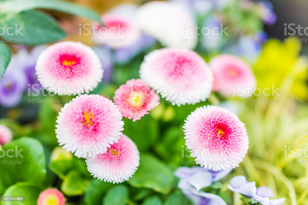 English daisy or bellis perennis plant with colorful pink and white flowers macro closeup stock photo