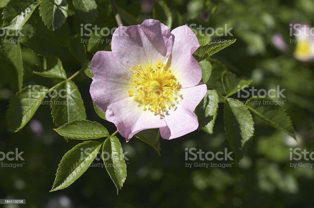 English dog rose Rosa canina single flower stock photo