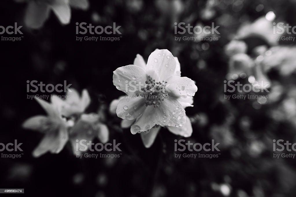 English dogwood flowers monochrome stock photo