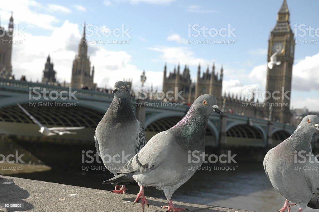 English Dove stock photo