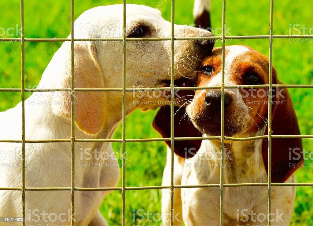 English Foxhound stock photo