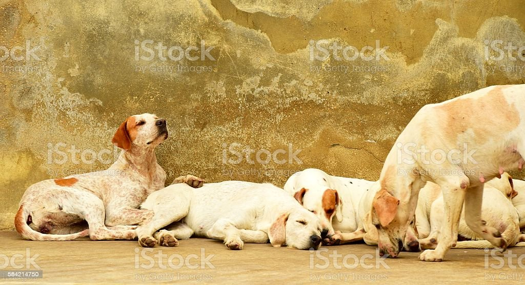English Foxhound stock photo