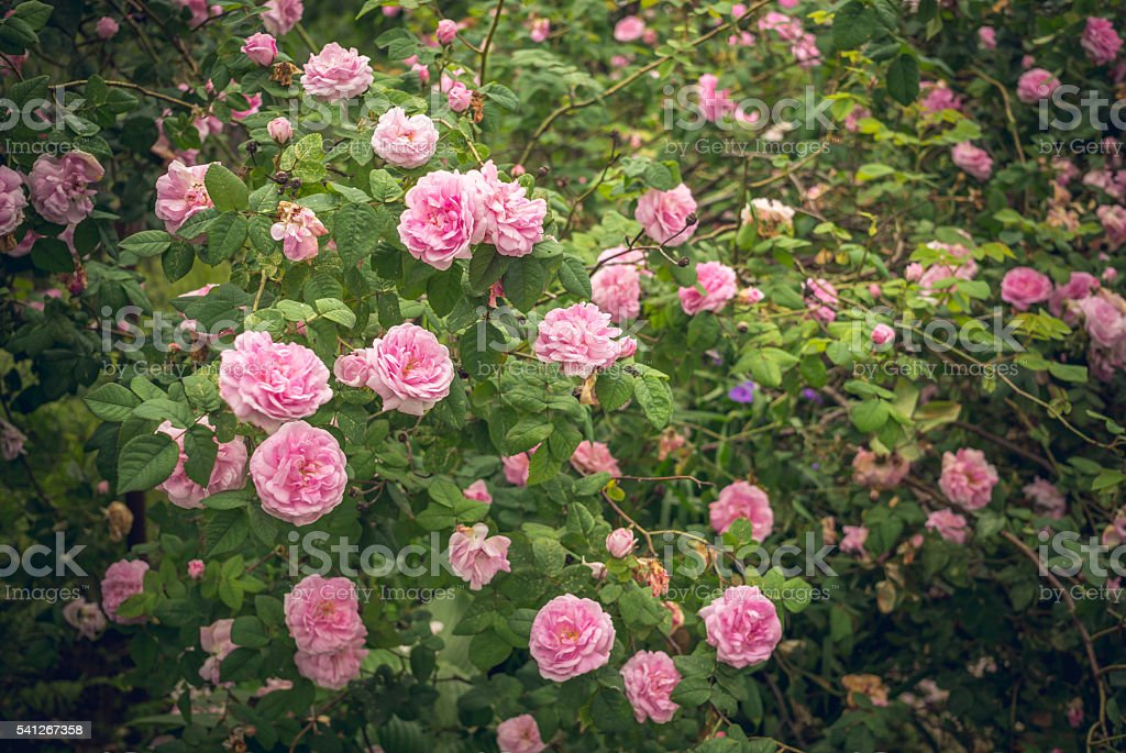 English garden and roses stock photo