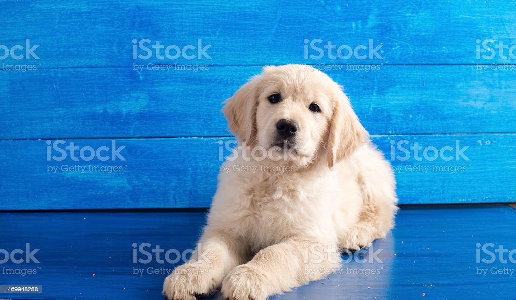 English Golden Retriever Puppy on Blue Wood stock photo