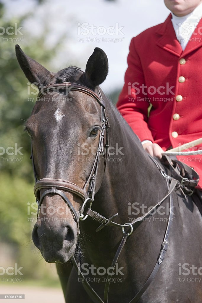 English Huntsman stock photo