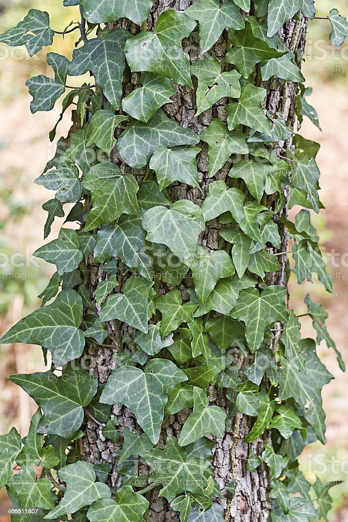 English Ivy Climbing a Dogwood Tree stock photo