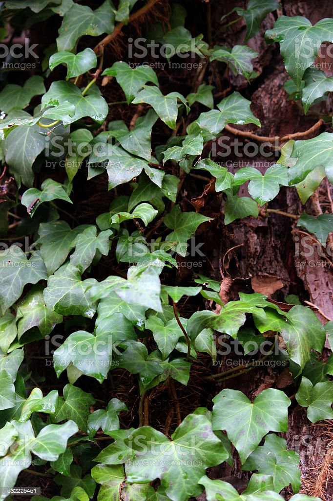 English Ivy Vine growing on a Pine Tree Trunk stock photo
