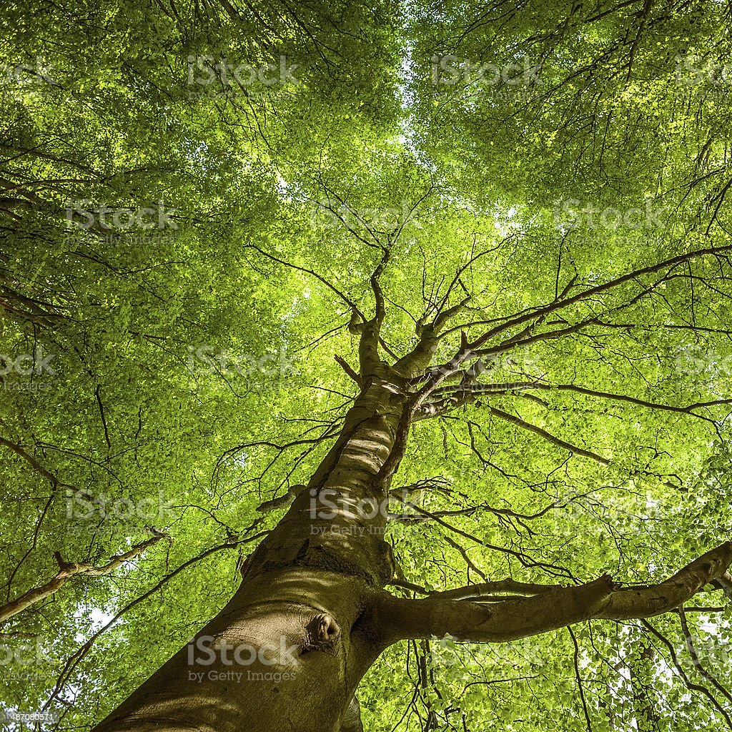 English Lake District: beech tree canopy in spring royalty-free stock photo