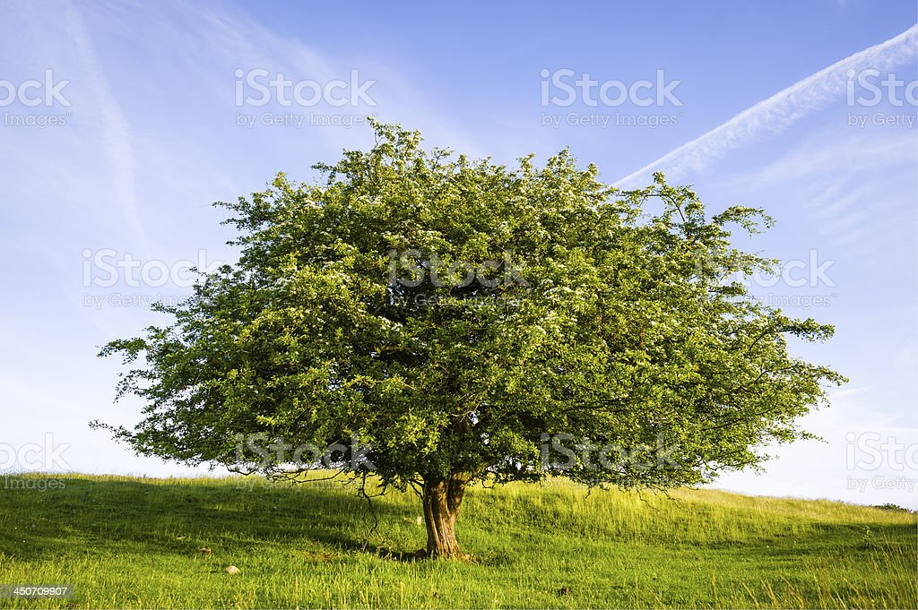 English Lake District: blossoming hawthorn at sunset royalty-free stock photo