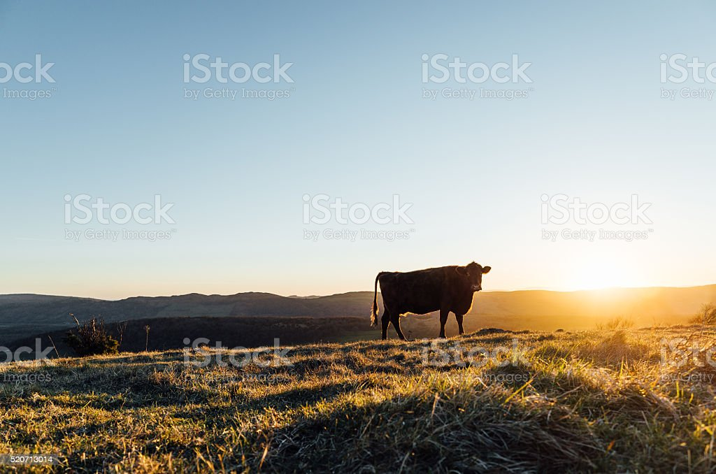 English Lake District: grazing cattle on Whitbarrow at sunset stock photo