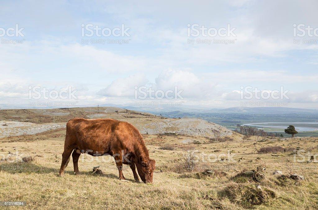 English Lake District: grazing cattle on Whitbarrow stock photo