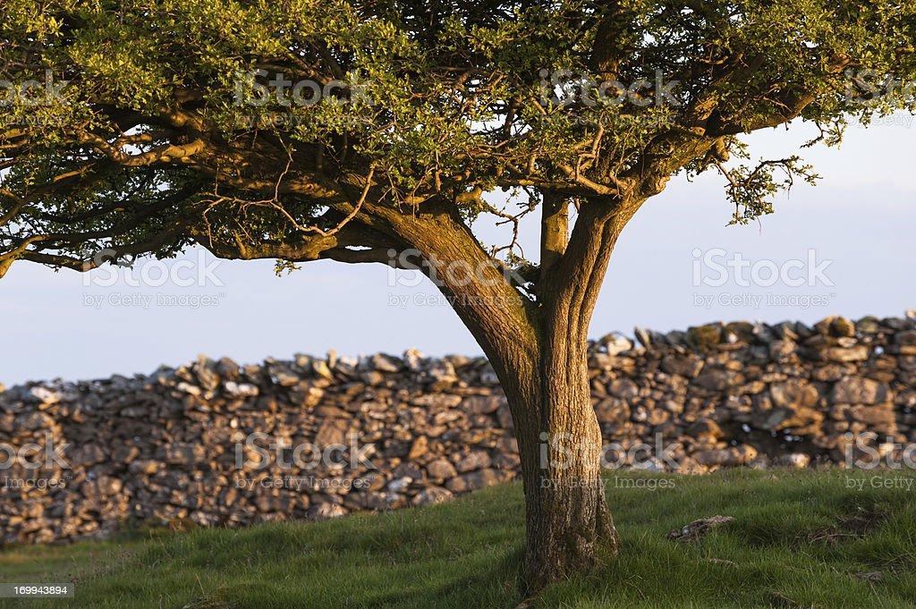 English Lake District: Hawthorn at sunset royalty-free stock photo