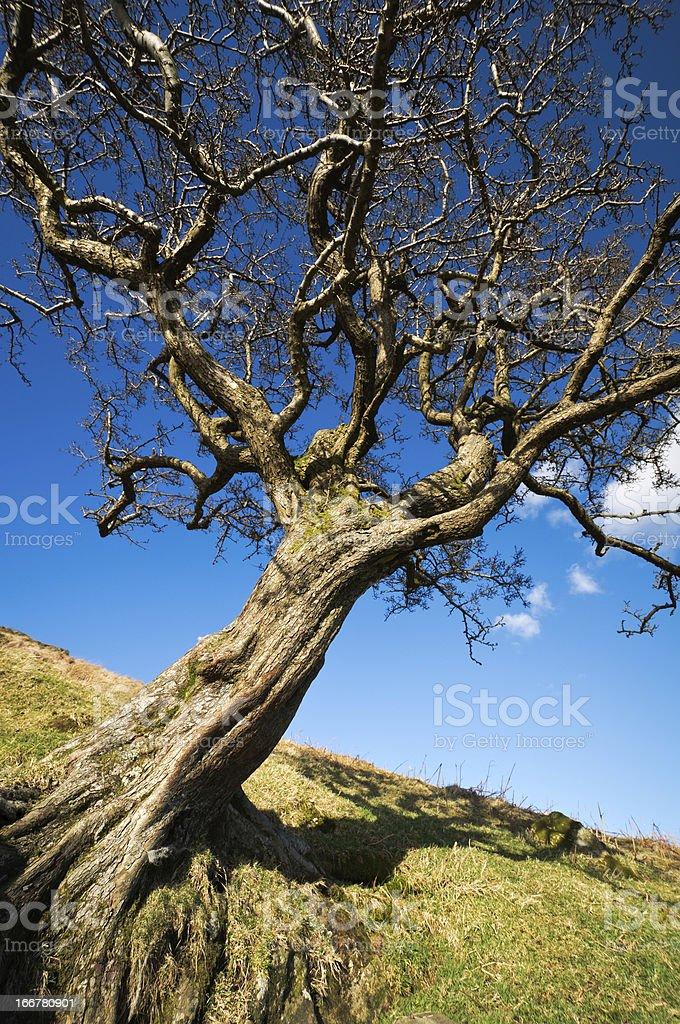 English Lake District: Hawthorn royalty-free stock photo
