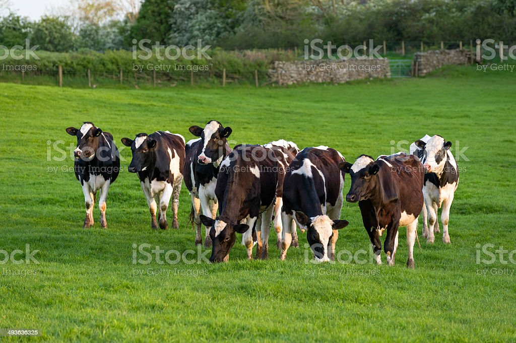 English Lake District: herd of cattle royalty-free stock photo