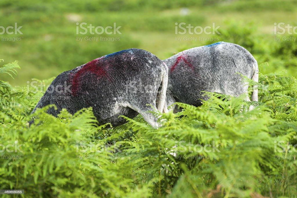 English Lake District: Herdwick royalty-free stock photo