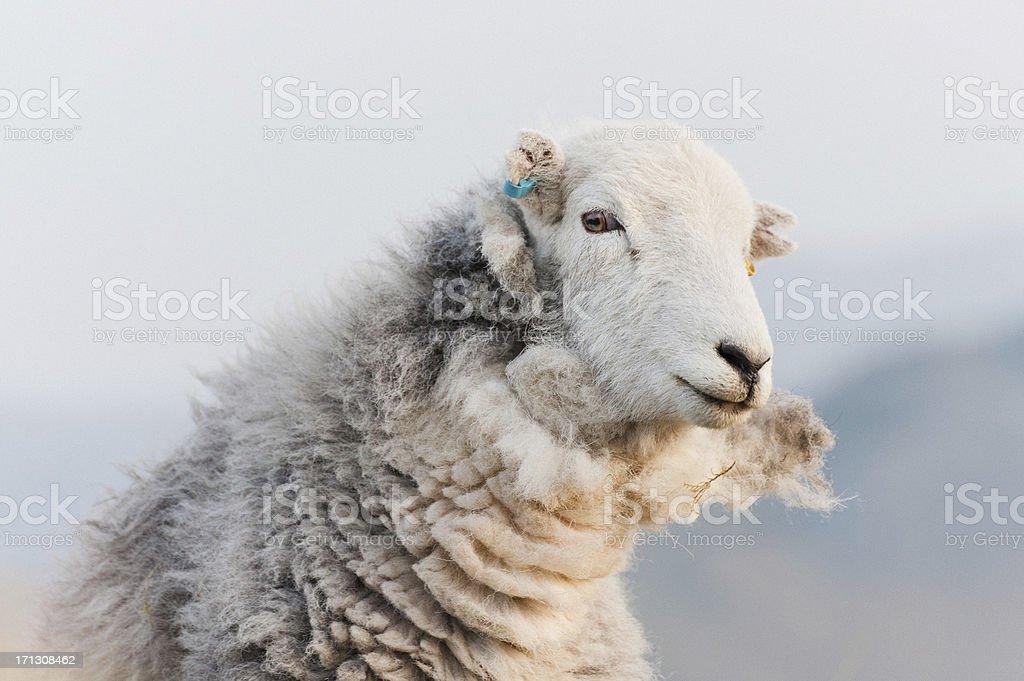 English Lake District: Herdwick sheep royalty-free stock photo