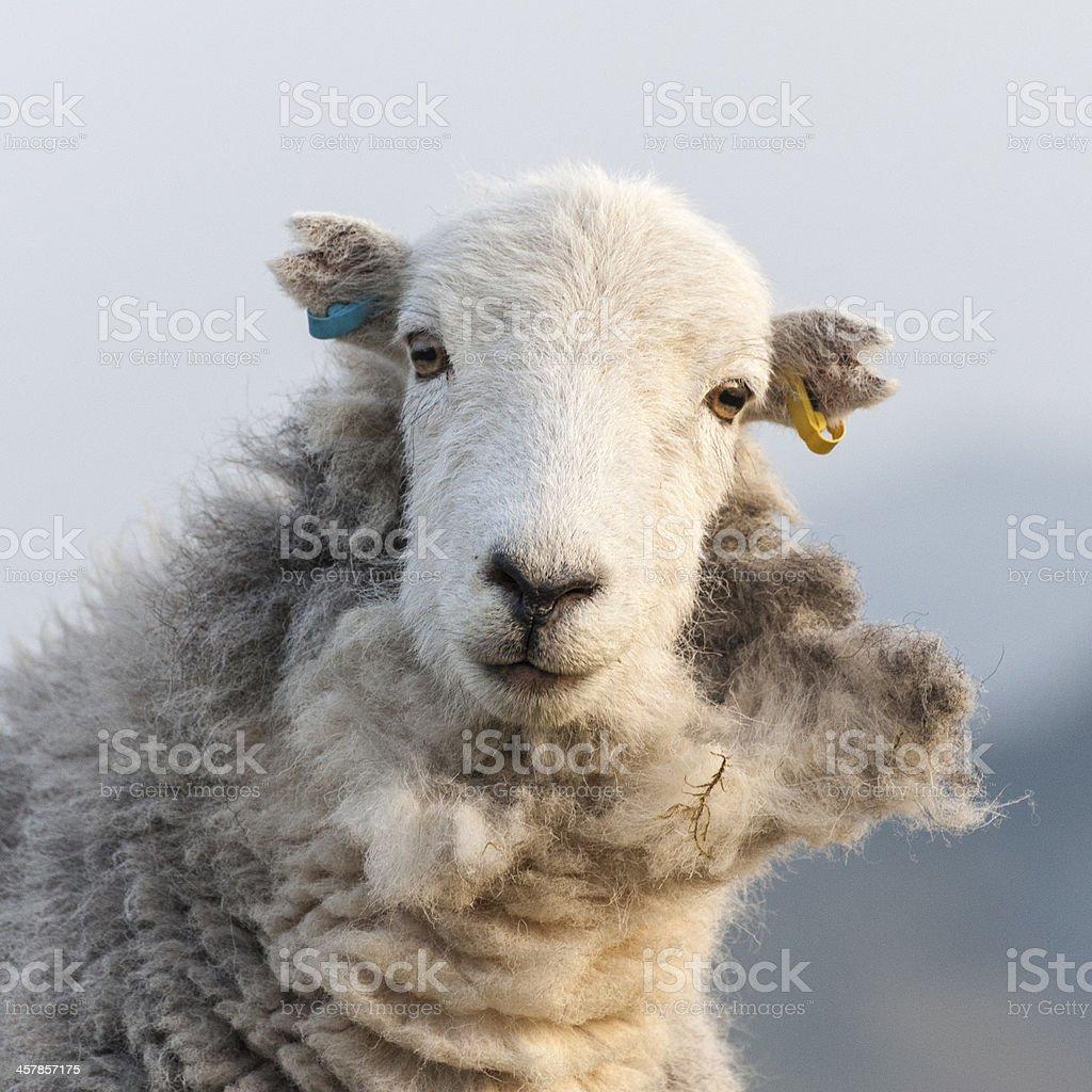 English Lake District: Herdwick sheep stock photo