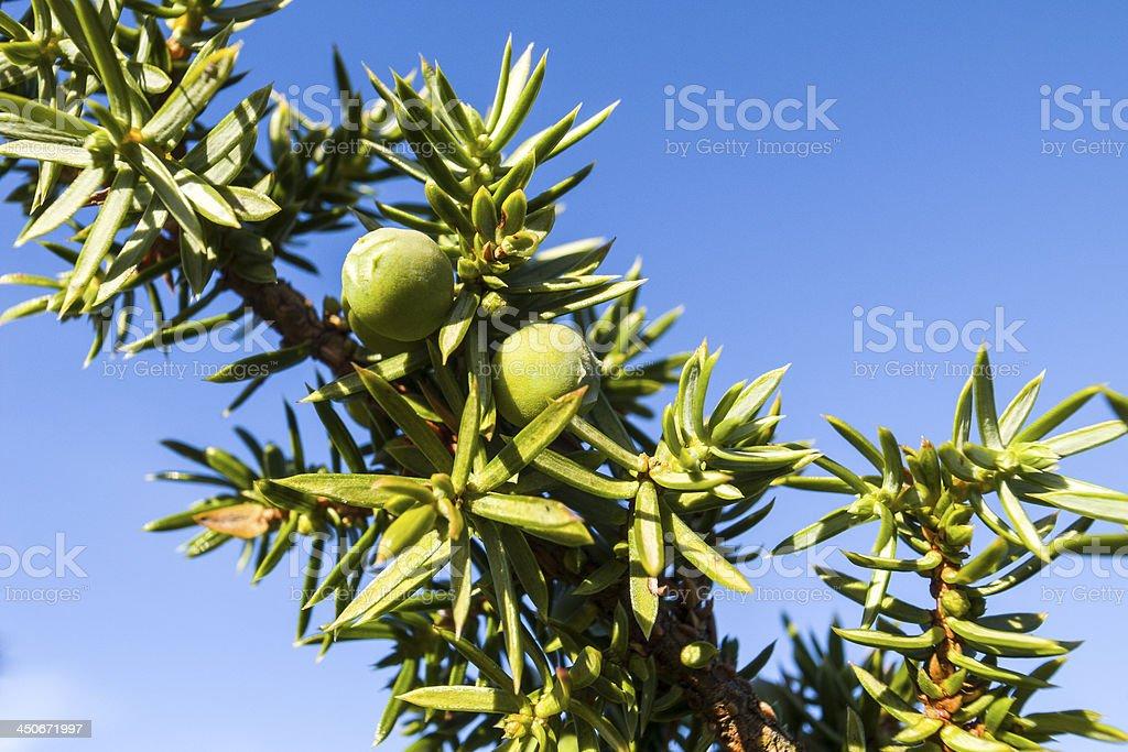 English Lake District: juniper berries royalty-free stock photo